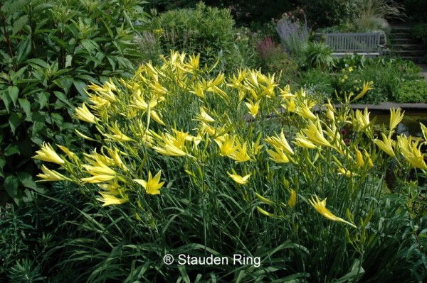 Taglilie - Hemerocallis x cultorum ´Atlas`